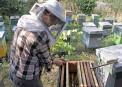 Albinel Firescu - Melliris Beekeeper (6)