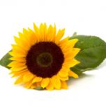 Sunflower2_03